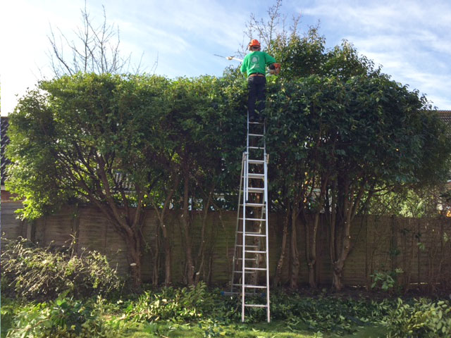 hedge trimming during